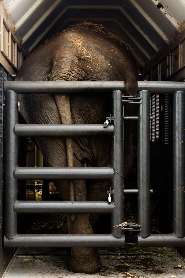 Rana elefante