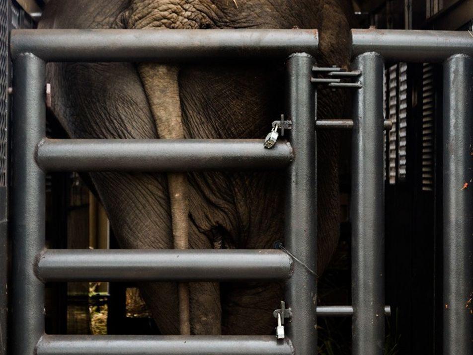 Depois de uma vida em circos e zoos, Rana viaja 2,7 mil km para a liberdade