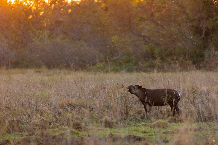 Anta se alimenta nos campos alagados do Pantanal durante o fim da tarde na fazenda Baía ...