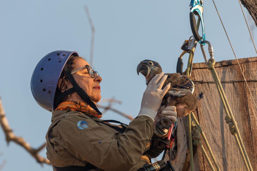 A bióloga Neiva Guedes acessa uma caixa-ninho a cerca de 10 metros de altura para coletar ...
