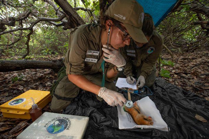 Com o tamanduaí anestesiado, a equipe de pesquisadores coleta amostras de sangue, faz medições e analisa ...