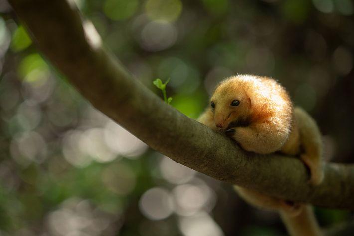 Por um tempo, acreditou-se que a população do tamanduaí do Nordeste havia sido extinta junto com ...