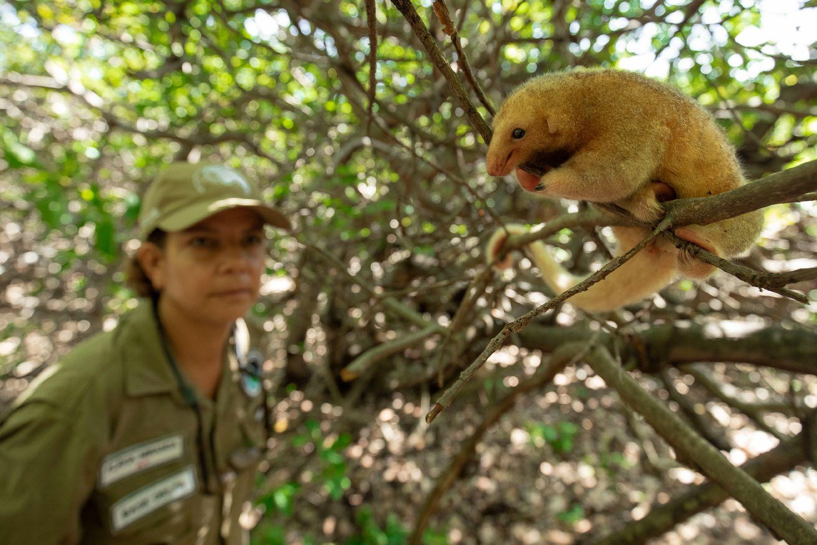 Flávia Miranda observa o tamanduaí no galho de um cajueiro do Delta do Parnaíba. Pequeno – ...