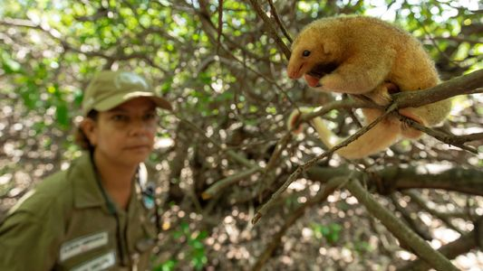 Uma naturalista do século 21 em busca do menor tamanduá do mundo