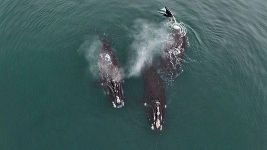 Imagens raras mostram baleias ameaçadas de extinção se 'abraçando'