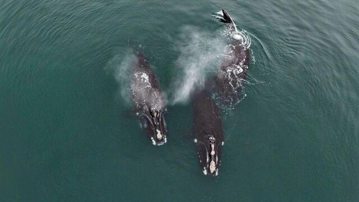 Vídeo raro mostra baleias se 'abraçando'