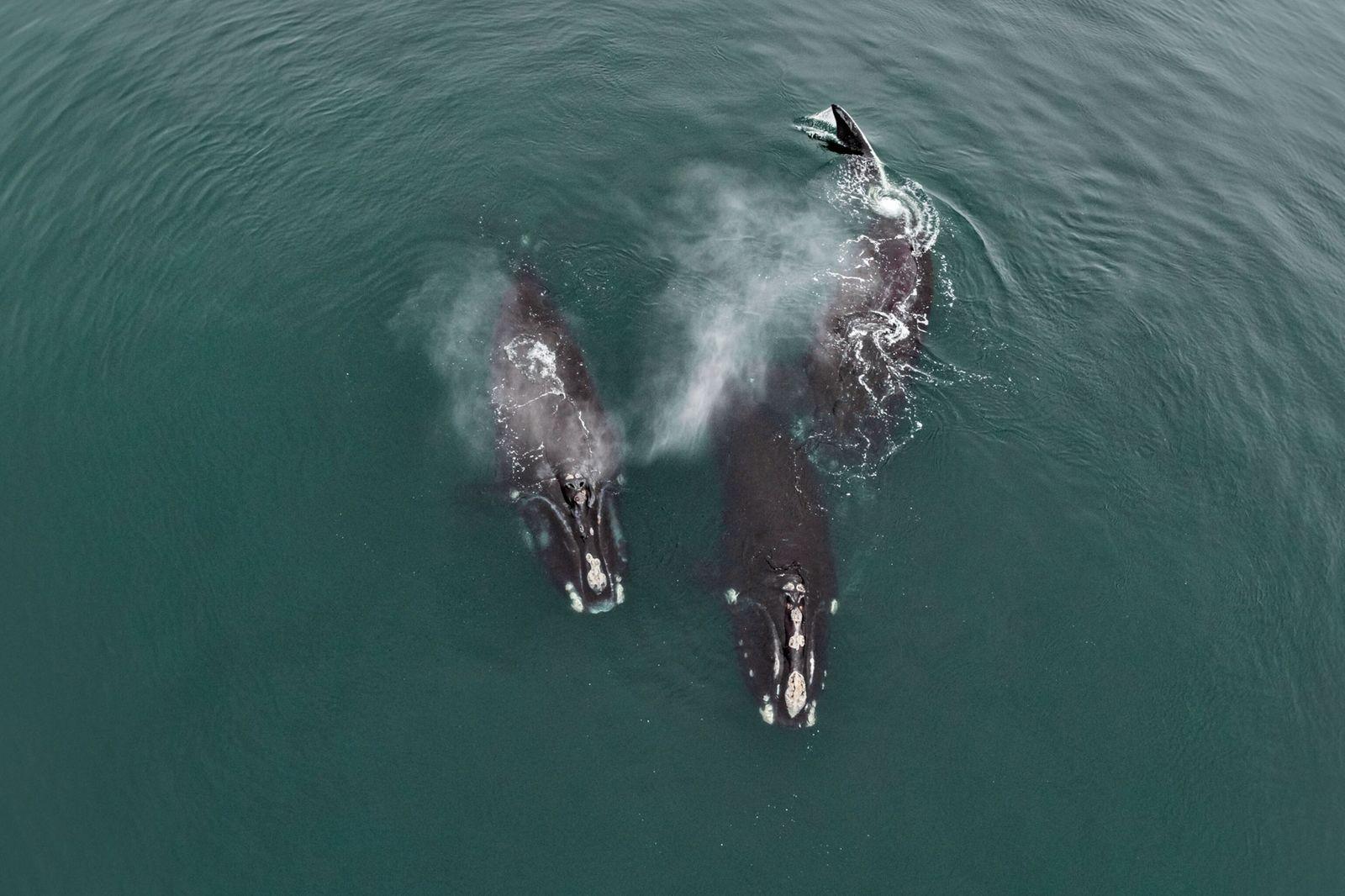 foto aérea de baleias-francas-do-atlântico-norte