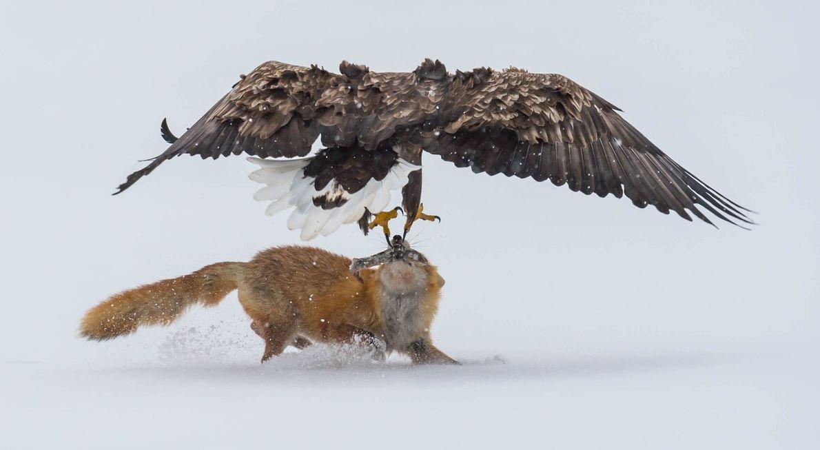 -galeria-de-fotos-animais-em-acao-aguia e raposa