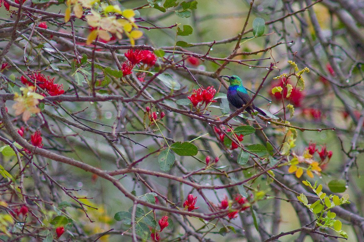 Um pássaro da família Nectariniidae empoleirado em uma árvore perto do Rio Zambeze, na África. Zâmbia.