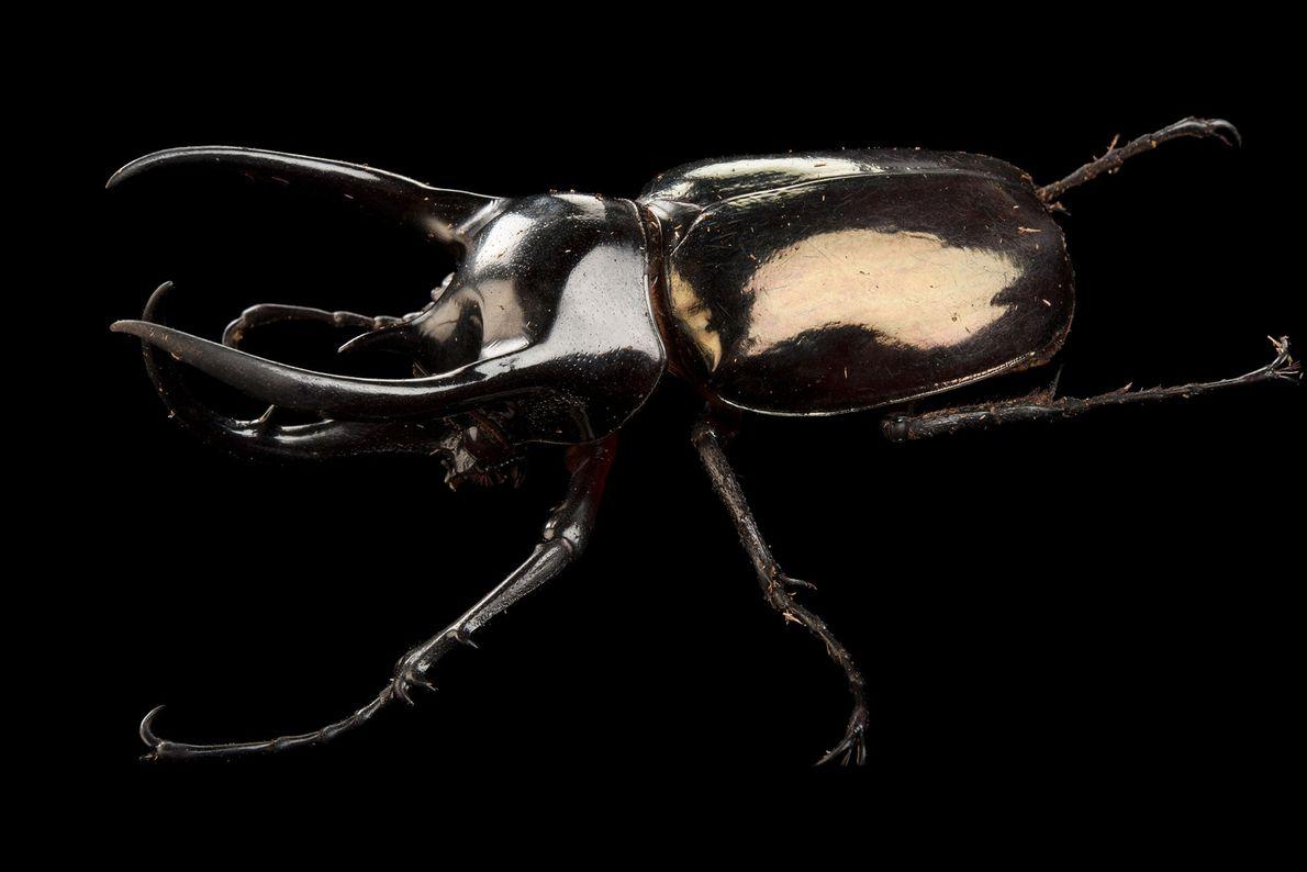 Besouros atlas machos possuem três chifres lisos e esguios em suas cabeças e tórax que utilizam ...
