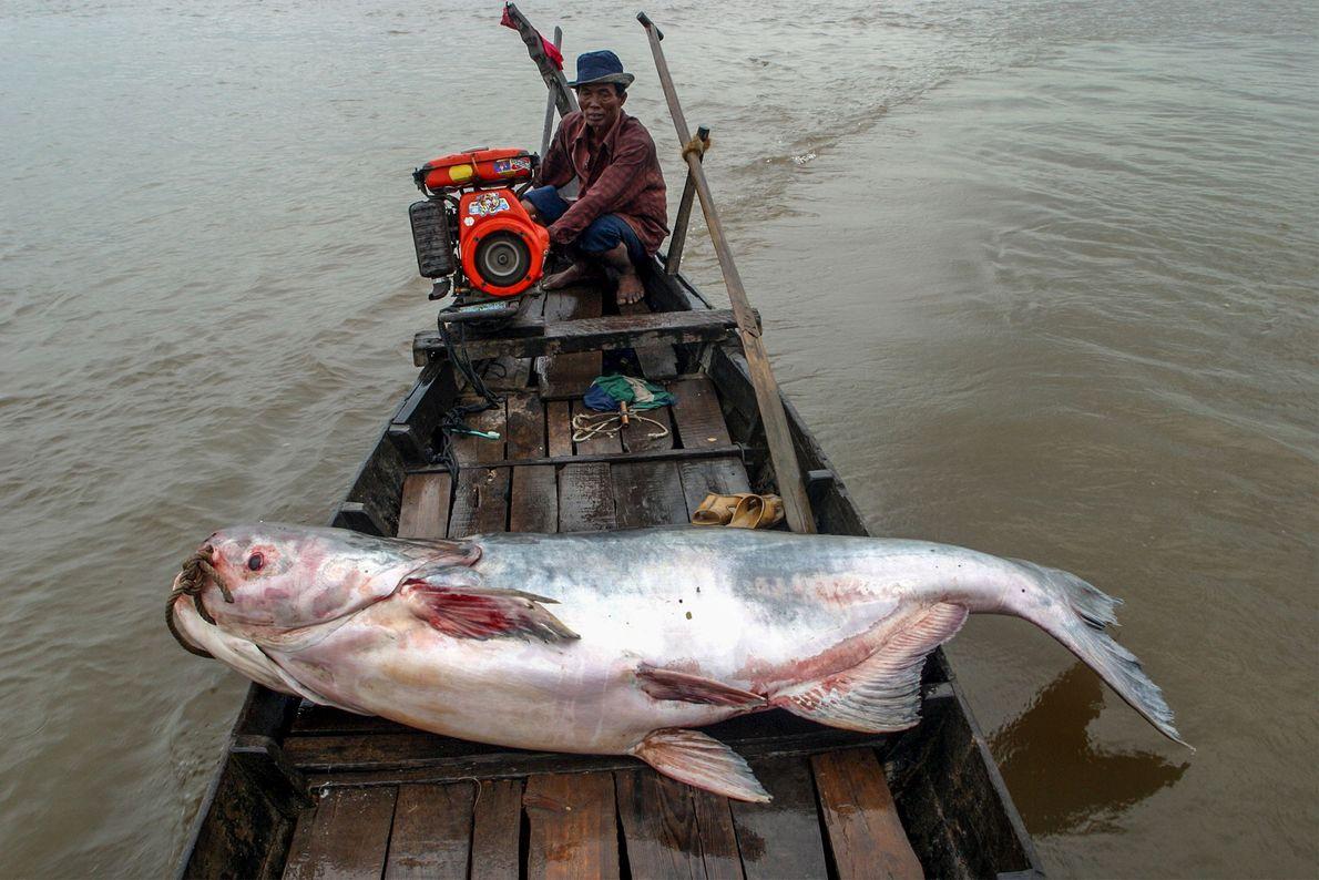 Graças à enormidade e à produtividade do rio Mekong, cerca de uma dúzia de espécies de ...