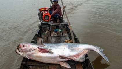 Imagens dos peixes gigantes do rio Mekong pescados ilegalmente