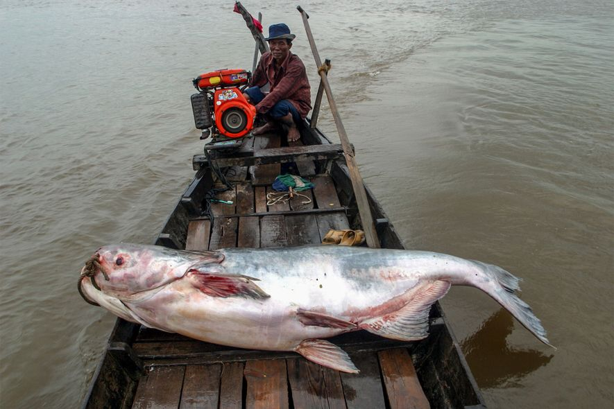 Graças à enormidade e à produtividade do rio Mekong, cerca de uma dúzia de espécies de …