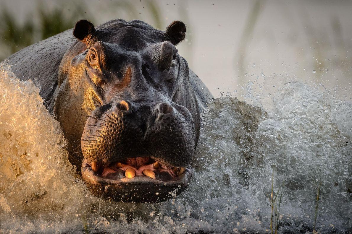 galeria-de-fotos-animais-em-acao-hipopotamo