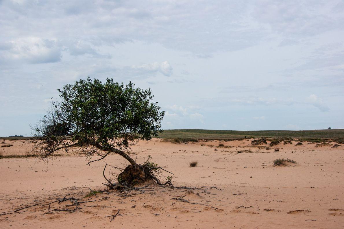 Areal em fazenda na cidade de Alegrete (RS). Os bancos de areia são fenômenos naturais, mas ...