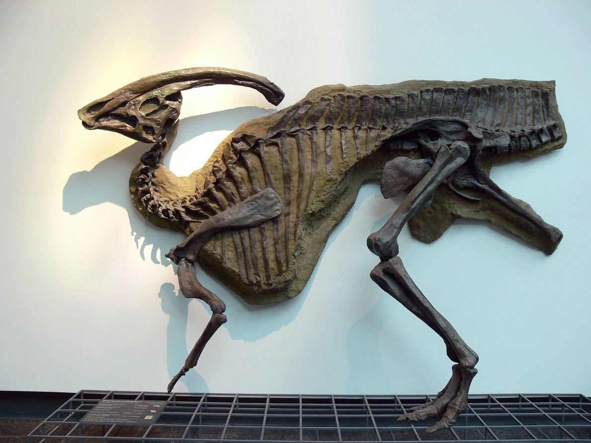 Este molde do hadrossauro Parasaurolophus walkeri, de crista extravagante, está em exibição no Museu Senckenberg, em ...