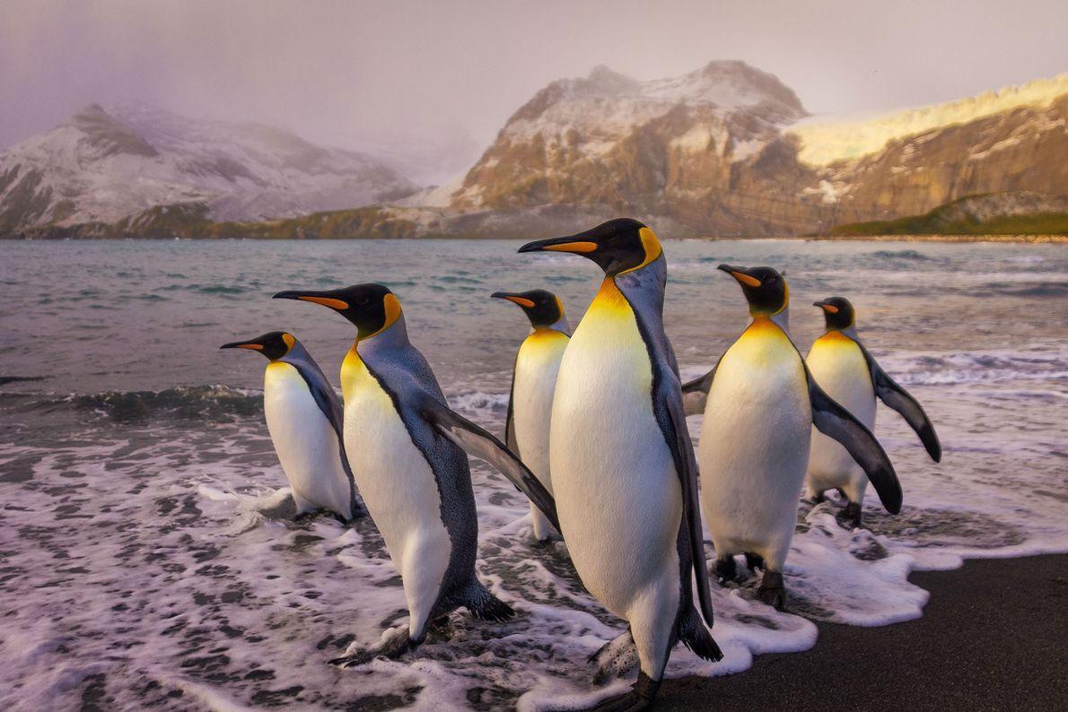 King penguins. South Georgia Island