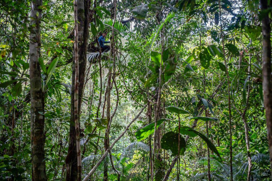 Um cientista da equipe procura por vida silvestre na copa das árvores.