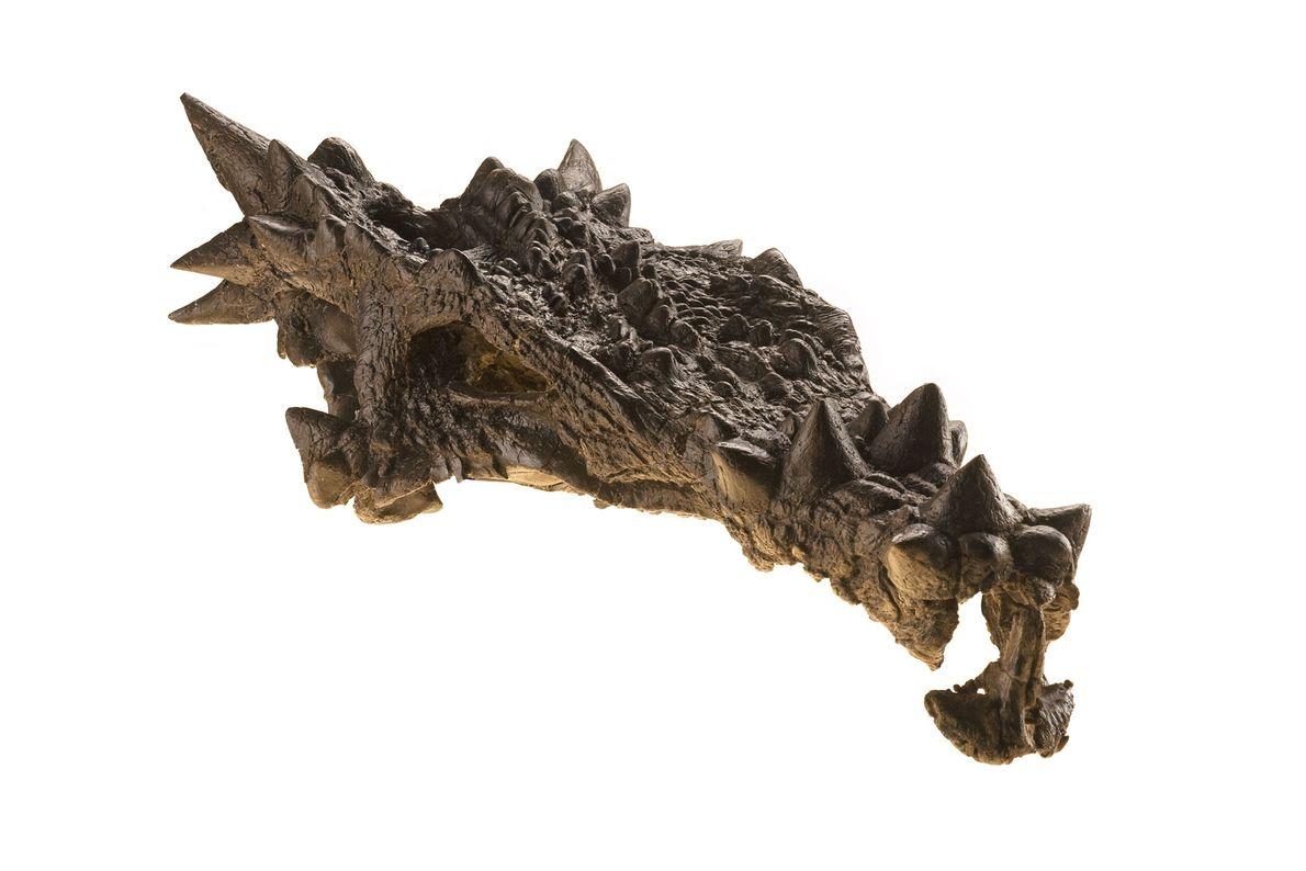 Este dinossauro altamente ornamentado, apresentado na edição de dezembro de 2007 da revista National Geographic, foi ...