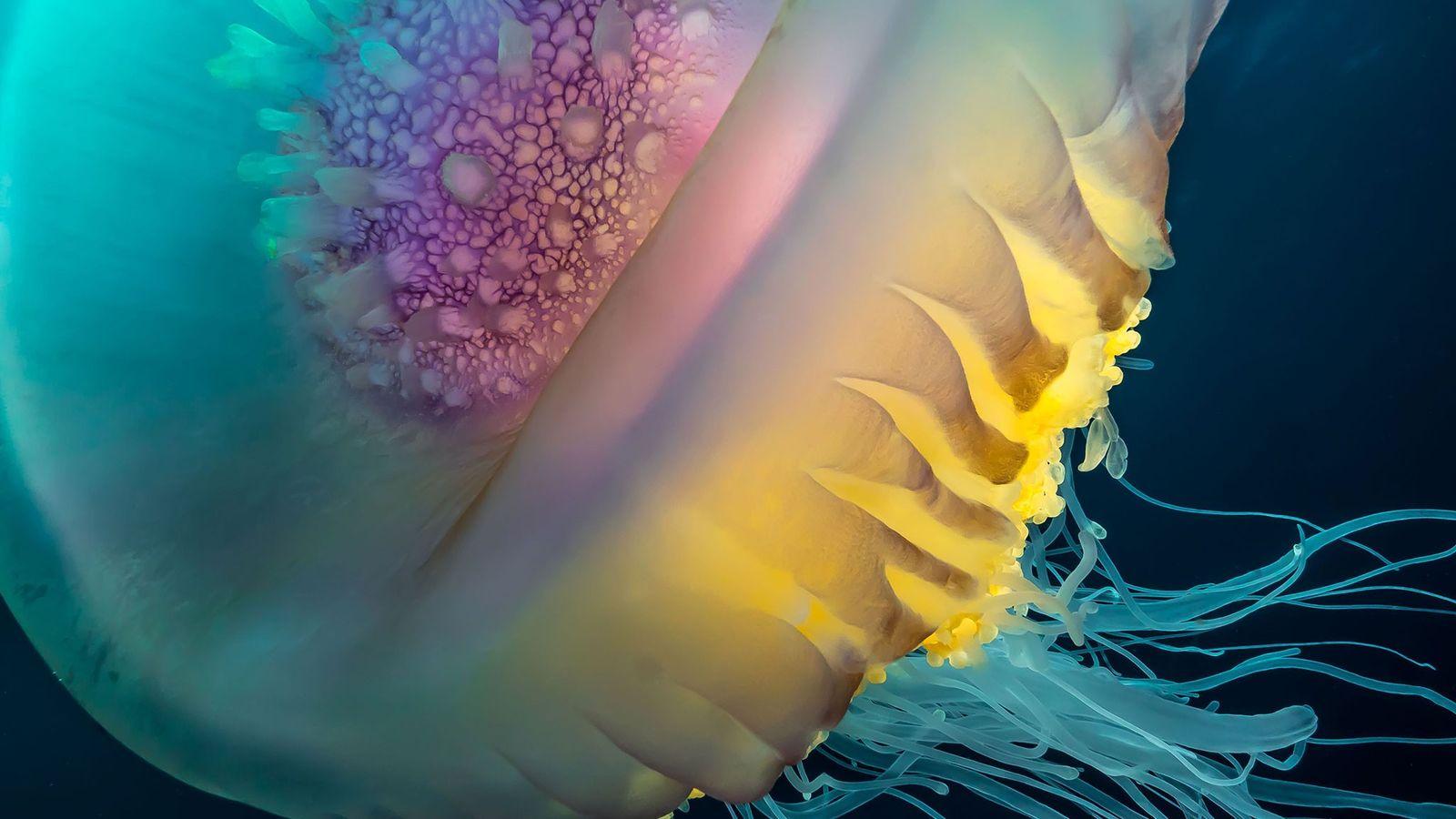 Água-viva cephea
