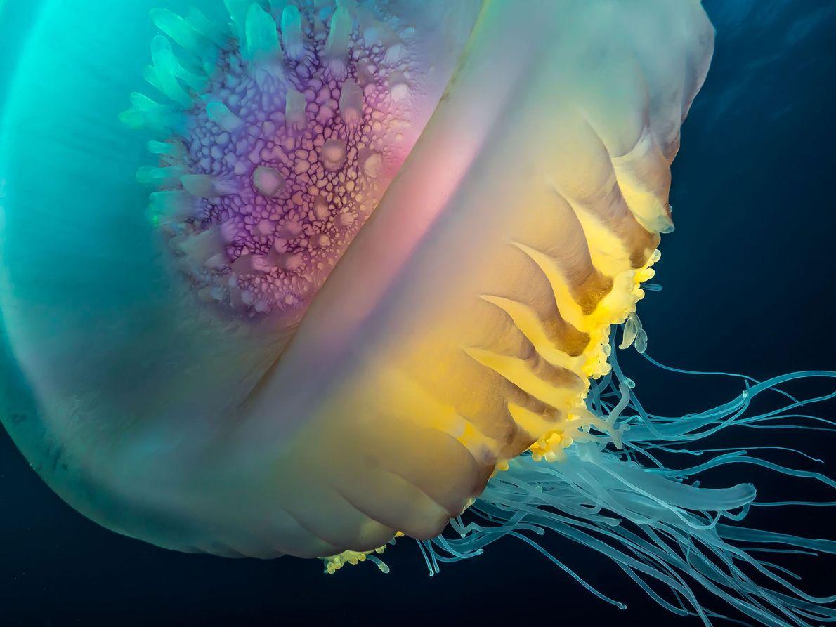 Cephea jellyfish. Shelly Beach, KwaZulu-Natal, South Africa