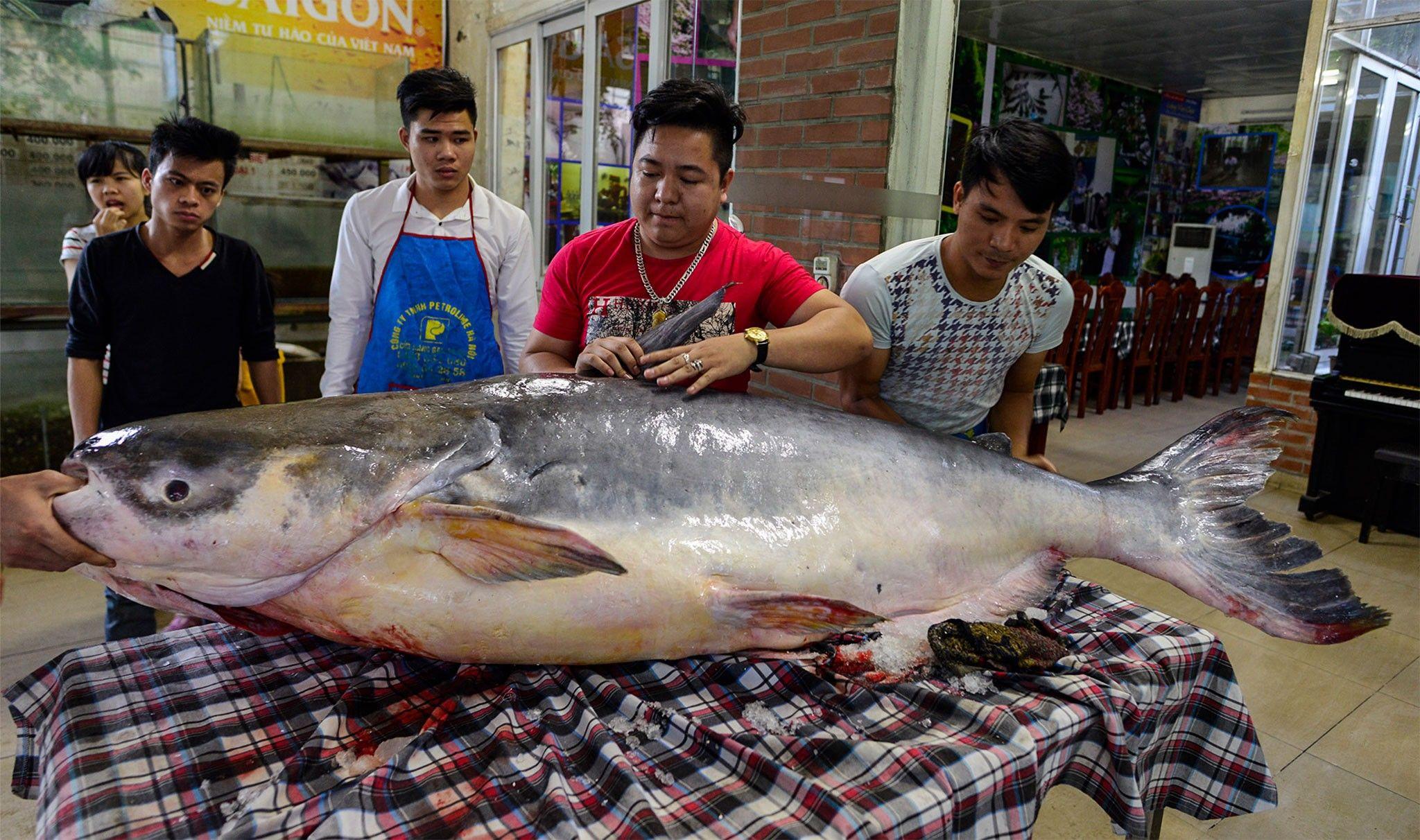 Peixe gigante está criticamente ameaçado de extinção por causa dos cardápios de restaurantes de luxo | National Geographic