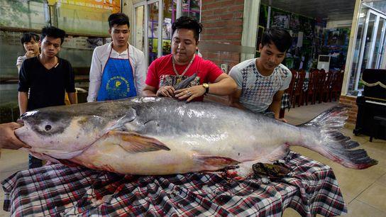 Um bagre gigante do Mekong de 136 kg, capturado ilegalmente no lago Tonle Sap, no Camboja, ...
