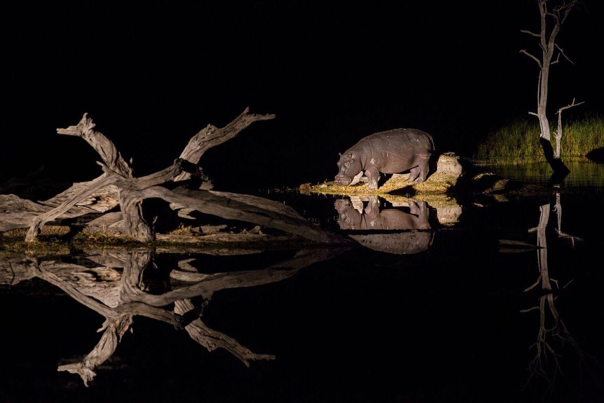Hipopótamos, abundantes nos deltas e nos rios que os alimentam, pastam em terra à noite e ...
