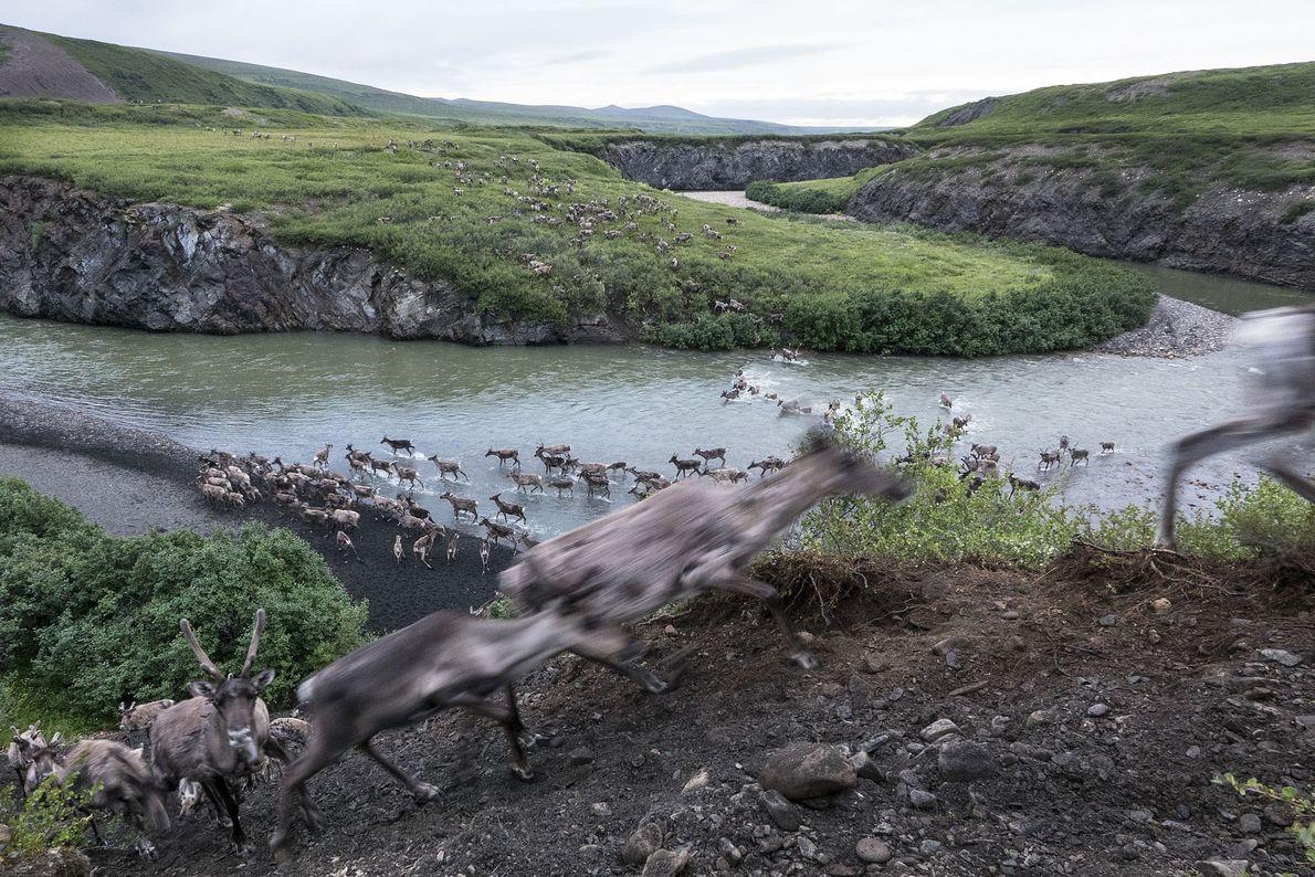 galeria-de-fotos-animais-em-acao-renas-d-alasca