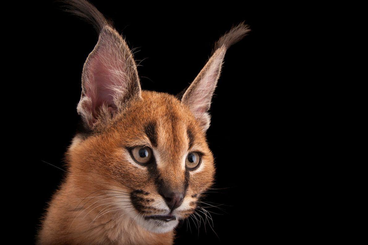 Alguns felídeos de pequeno porte são predadores eficazes. O caracal, visto na Ásia e na África, ...