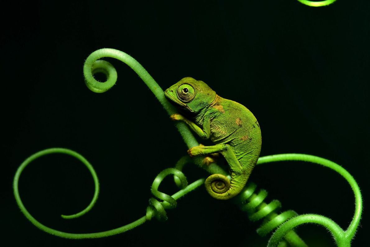 Chameleon. Democratic Republic of the Congo