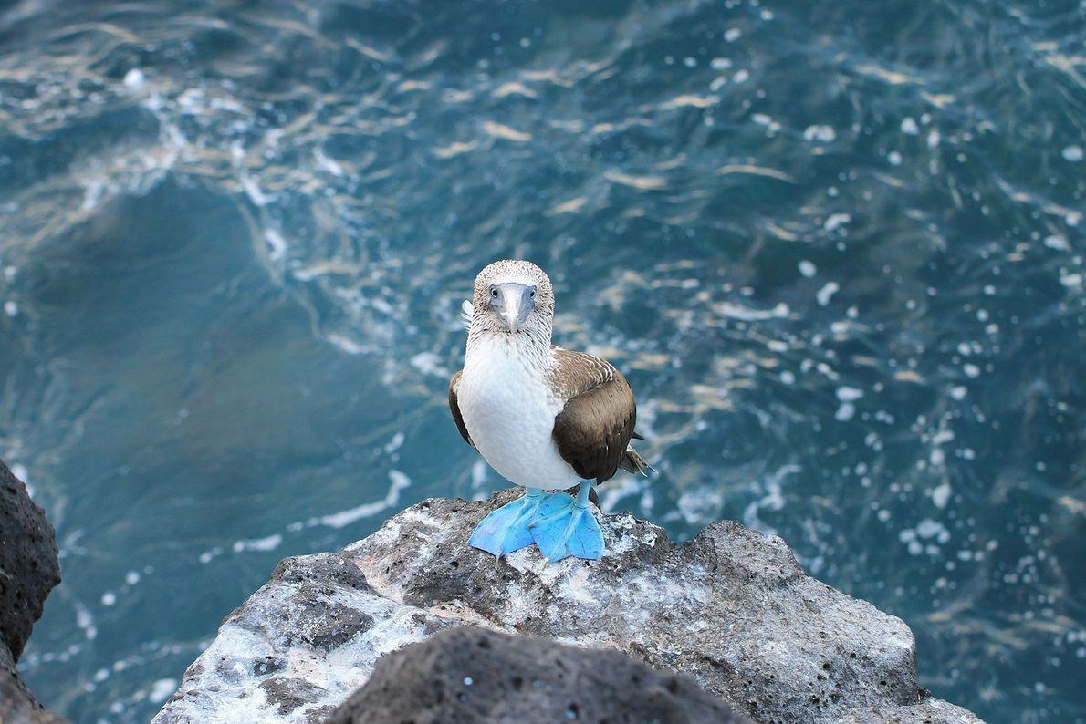 Patola-de-pés-azuis