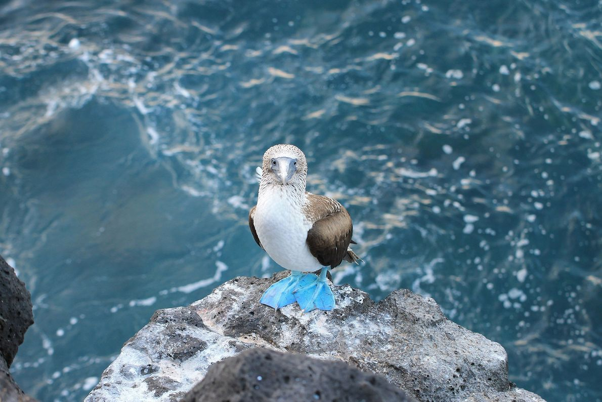 Blue-footed booby. Galapagos Islands, Ecuador