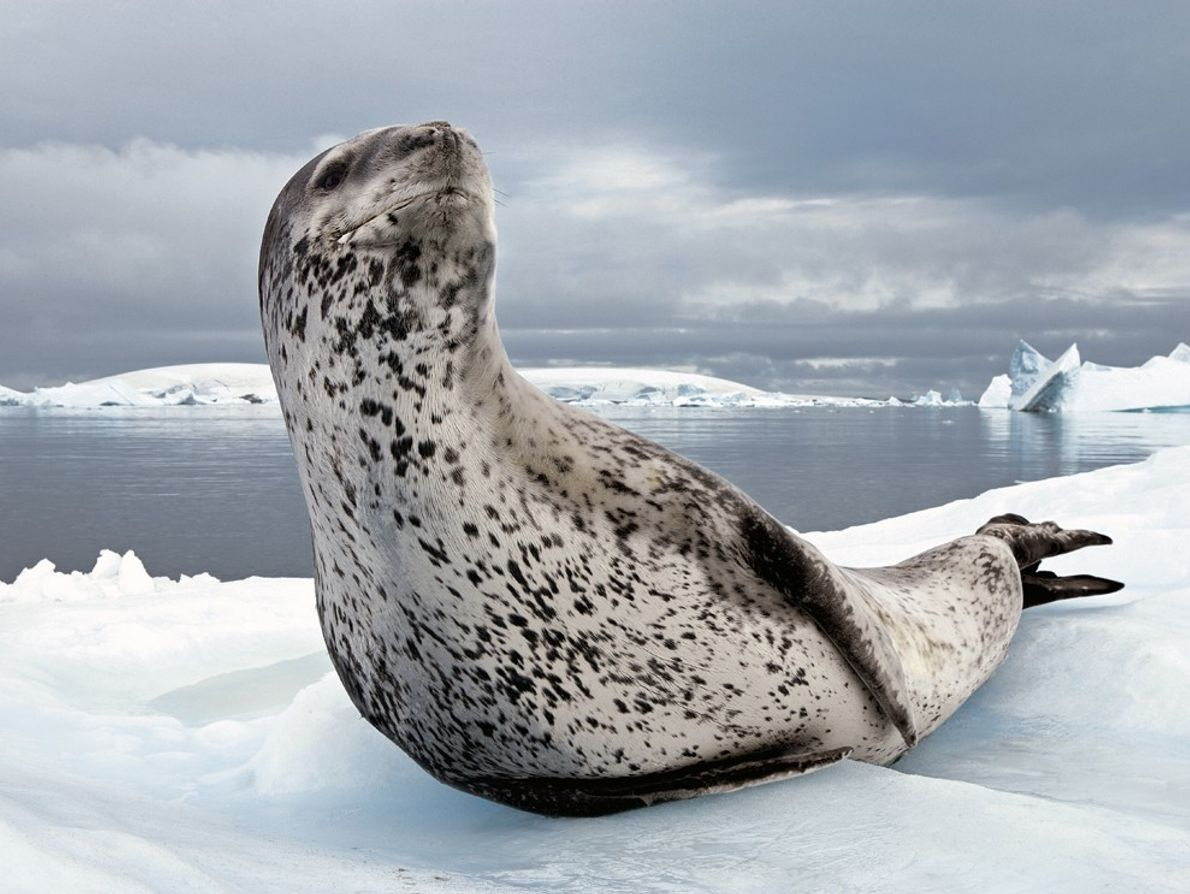 Foca-leopardo, Península Antártica