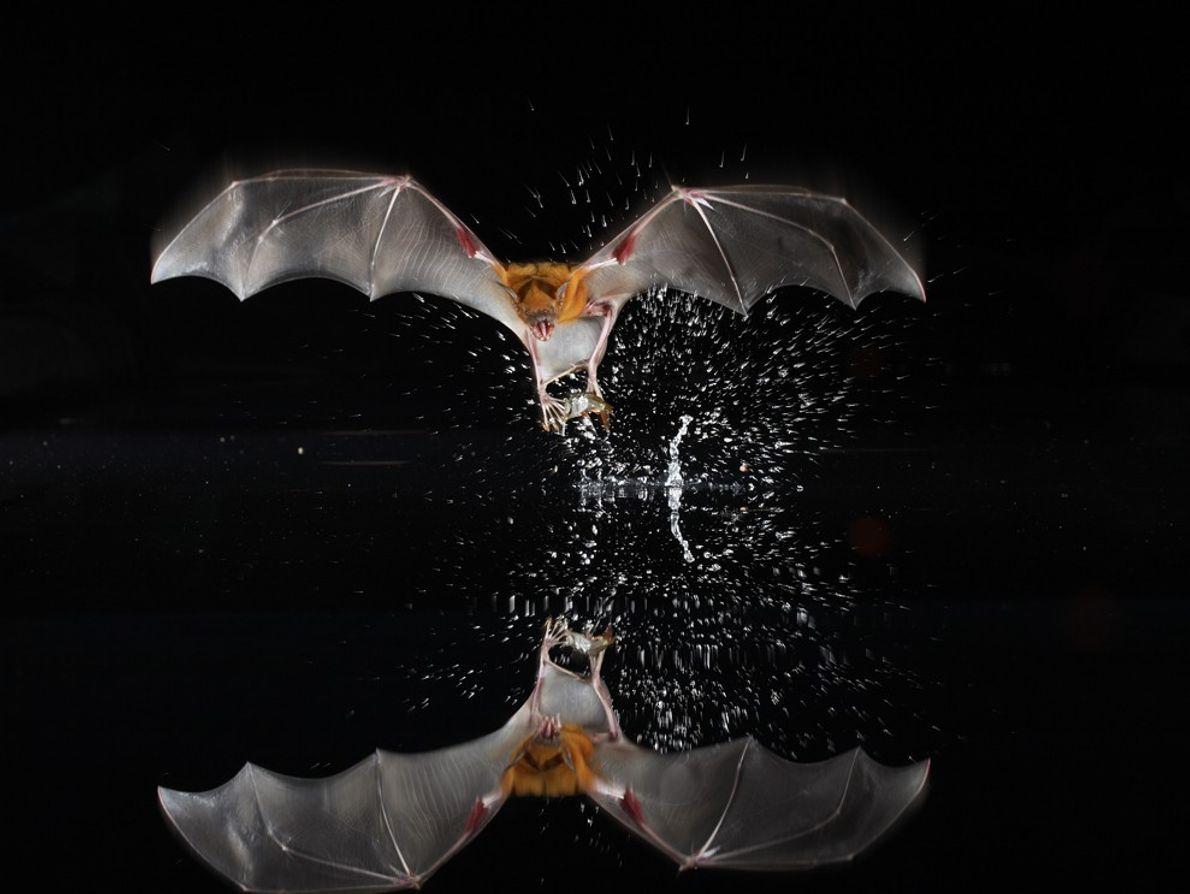 Morcego-bulldog, Panamá
