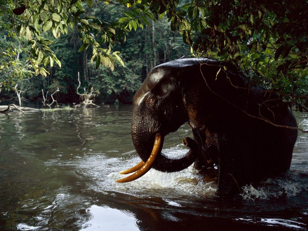 Elefante, Gabão