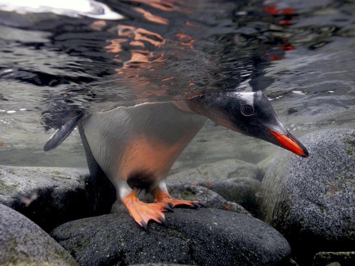 Pinguim-gentoo, Antártica