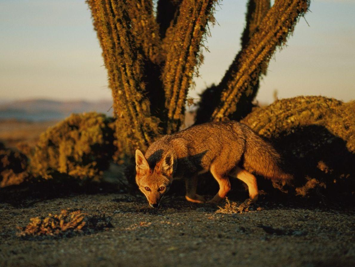 Raposa cinzenta, Chile