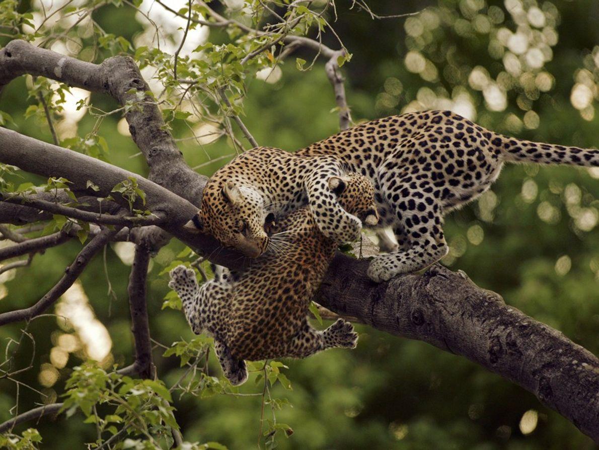 Leopardo, Botsuana