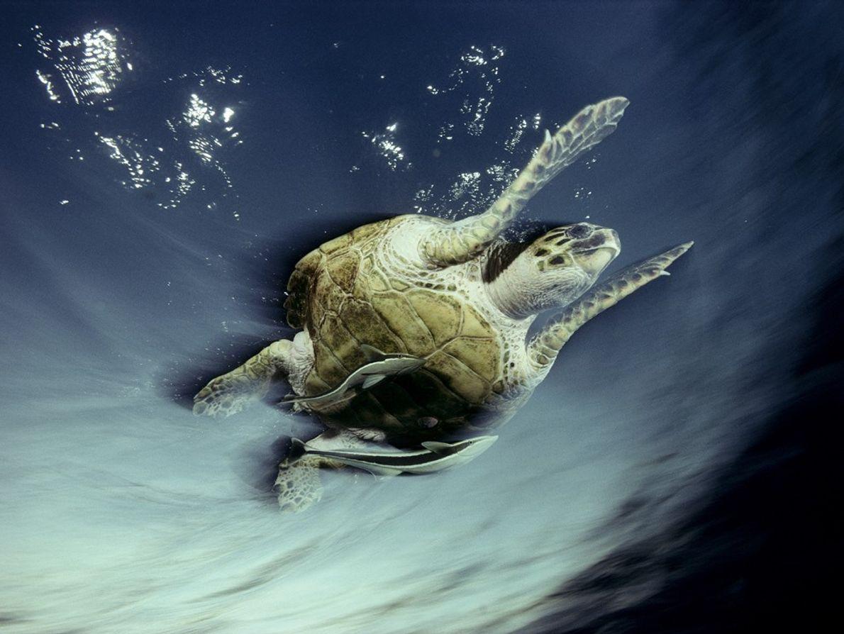 Rêmora e tartaruga-de-pente, Mar Vermelho