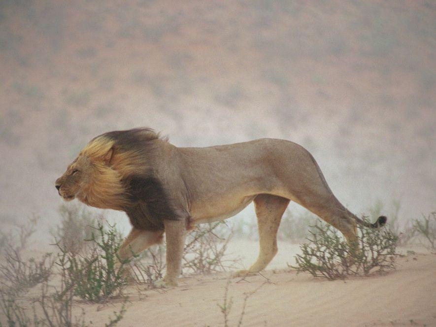 Um leão anda contra um vento arenoso no leito fluvial de Nossob, parque nacional de Kalahari ...