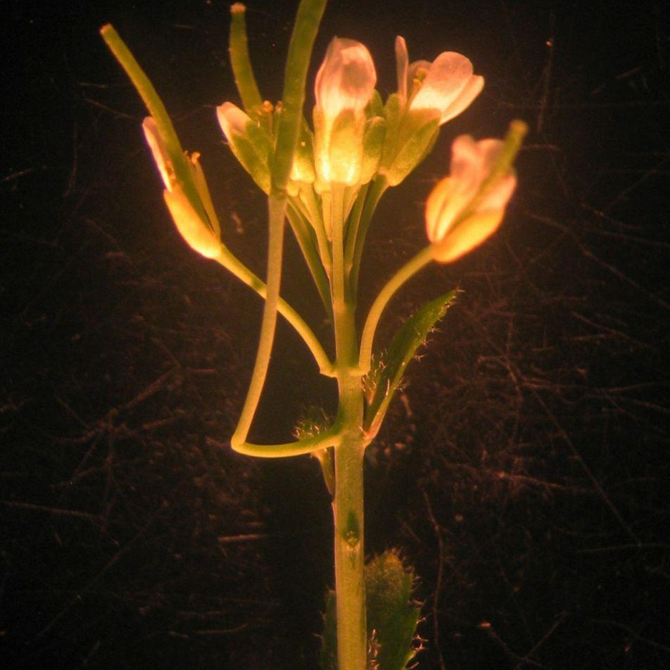 Surpresa científica: novo órgão descoberto em planta mais estudada do mundo