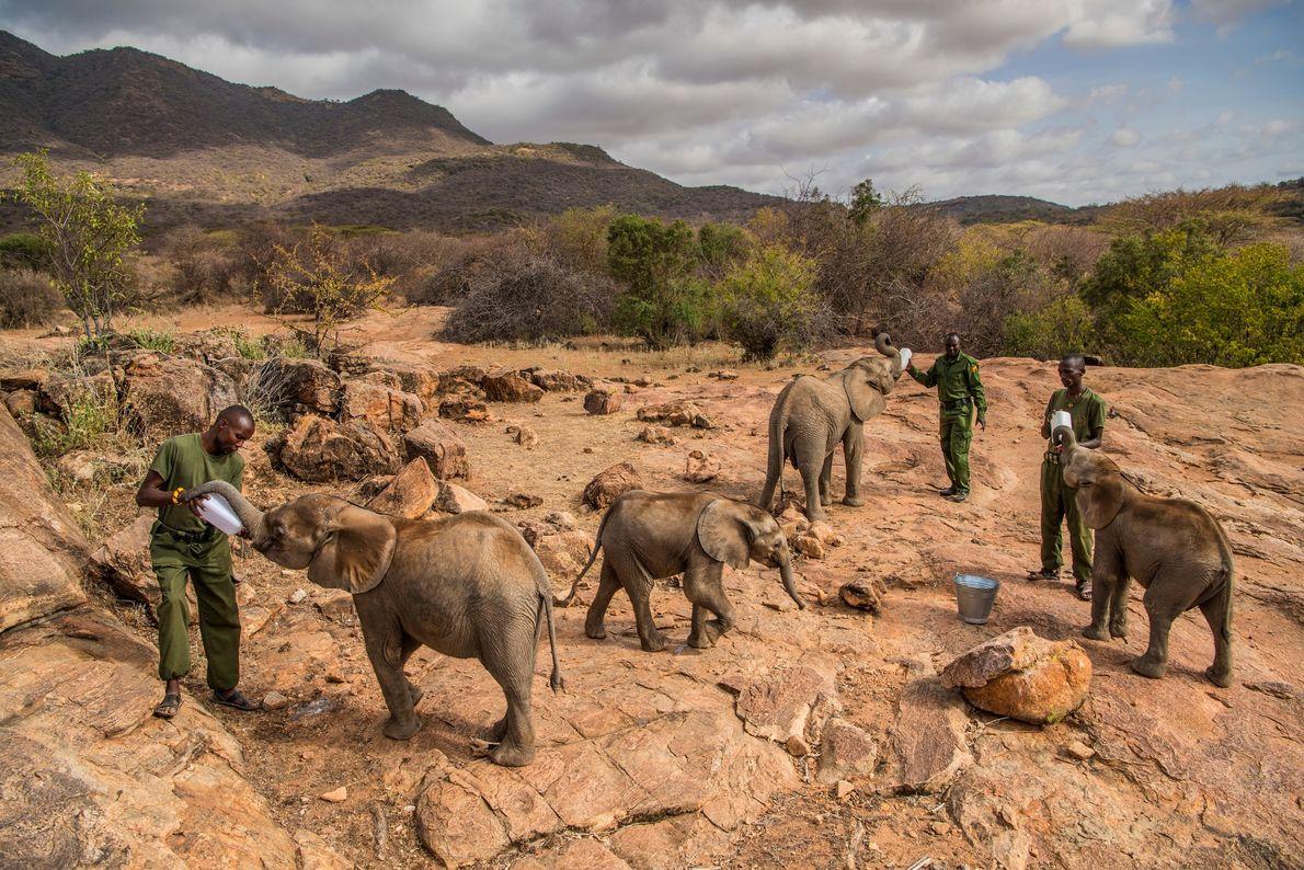 Hora do rango para os famintos órfãos do Santuário de Elefantes Reteti, no norte do Quênia. ...