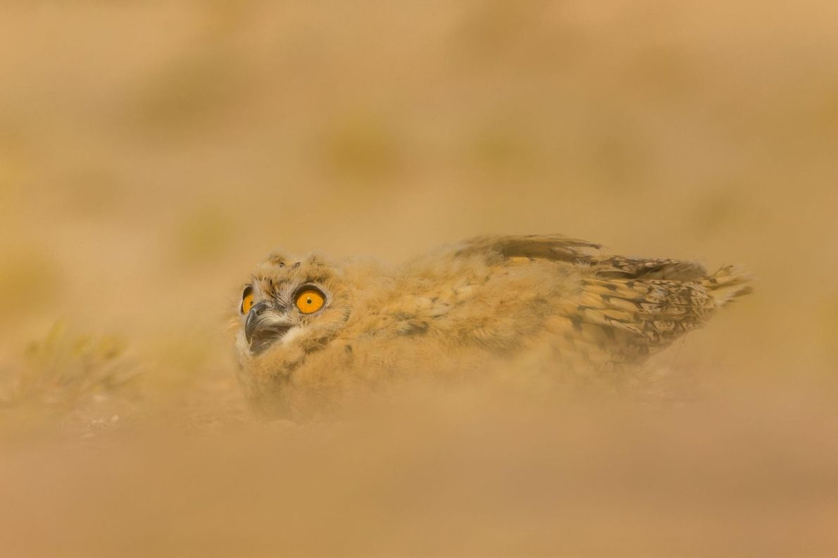 Coruja-águia-do-faraó
