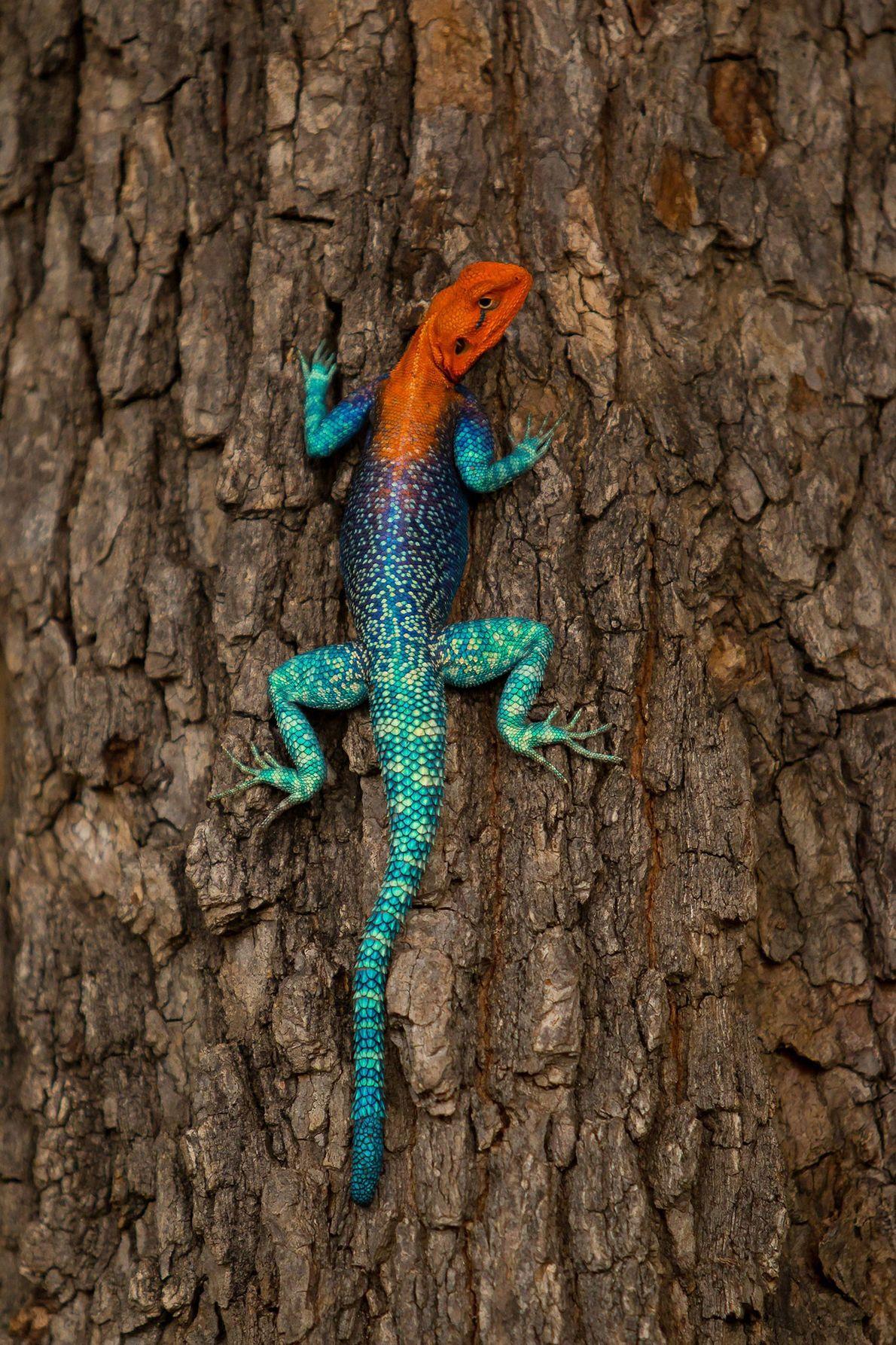 Agama lizard. Ruaha, Morogoro Region, Tanzania
