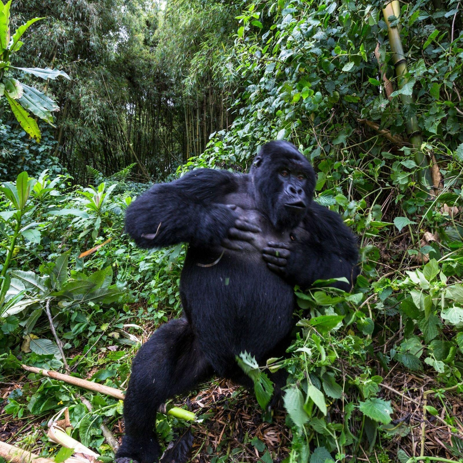 Mountain Gorilla Chest Beating