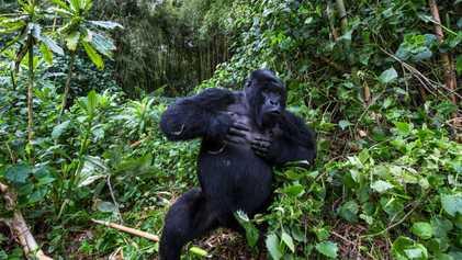 Por que gorilas machos batem no peito? Novo estudo oferece evidências curiosas