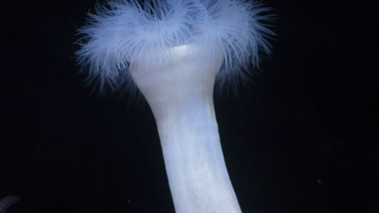 Anêmonas-do-mar às vezes se alimentam de formigas. Mas por quê?