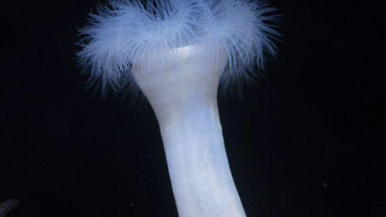 giant plumose anemone 2