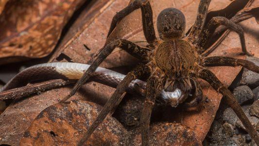 Aranhas podem comer cobras? Sim – e em todo o planeta
